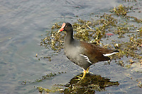 A common moorhen walking on floating reeds at Wakulla Springs, in North Florida.