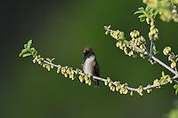 Black-chinned Hummingbird (Archilochus alexandri), adult male preening on blooming Texas persimmon (Diospyros texana), Hill Country, Texas, USA