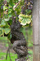 Old vines. Chateau Liot, Barsac, Sauternes, Bordeaux, France