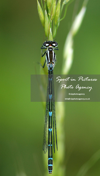 A female Azure Damselfly resting on a blade of grass
