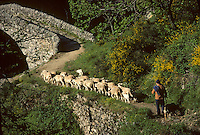 Europe/France/Rhone-Alpes/07/Ardeche/Thueyts : troupeau de moutons et Pont du Diable et gorges de l'Ardèche<br /> PHOTO D'ARCHIVES // ARCHIVAL IMAGES<br /> FRANCE 1980