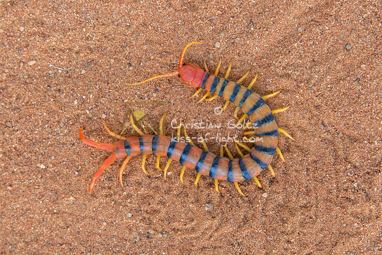 A centipede in central Namibia.