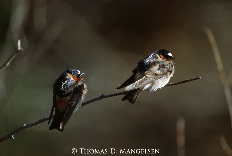Pair of Cliff Swallows perched on a small branch.