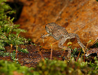 American Toad; Bufo americanus; toadlet hopping; PA, Philadelphia, Roxborough Reservoir