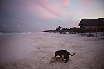 TULUM, MEXICO - APRIL 30, 2009: Two dogs on the beach on April 30, 2009 in Tulum, Mexico.  (PHOTOGRAPH BY MICHAEL NAGLE)