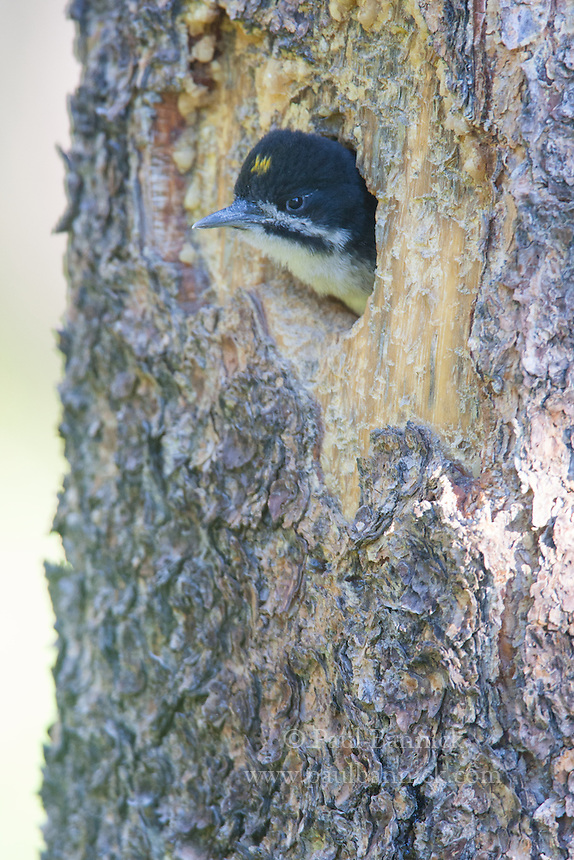 A nestling Black-backed Woodpecker calls from its nest cavity.  Note the plate-like appearance of the cavity.