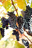 USA, California, grapes on the vine, Sabon Estate Winery, Gold Country