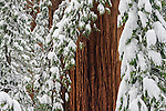 Snow on Giant Sequoia trees in winter forest, Calaveras Big Trees State Park, Calaveras County, California