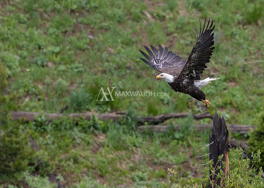 A bald eagle takes off.