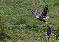 A bald eagle takes off.