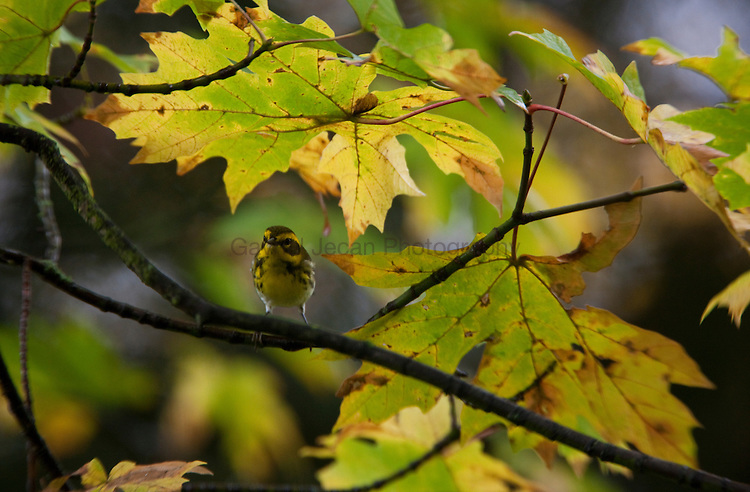 """Audubon""""s Warbler ( Dendroica Coronata Ausuboni)  on the maple branch hunting for insects"""