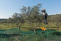 Europe/Provence-Alpes-Côte d'Azur/83/Var/Iles d'Hyères/Ile de Porquerolles:  Marie-Claude Cano récolte les olives des  vergers-conservatoires  du Conservatoire botanique national méditerranéen de Porquerolles, plus de 110 variétés d'oliviers, sur l'île de Porquerolles<br /> A la ferme de l'Oustaou elle produit son huile d'olive réputée