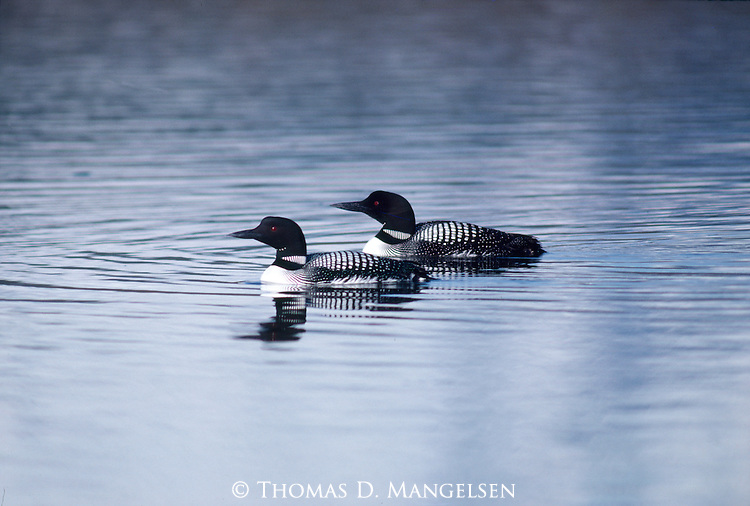 Loons swim at Oxbow Bend in Grand Teton National Park.