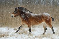 Wild horse and Aurochs/Tauros