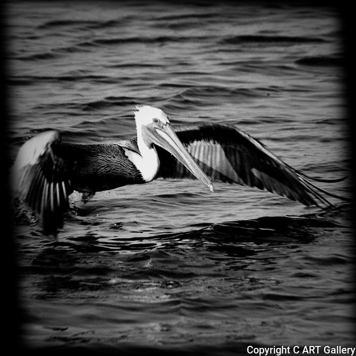 Pelican beginning flight, Bolsa Chica, CA.
