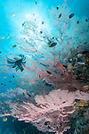 Misool, Raja Ampat, Indonesia; Sagof area, an aggregation of Regal Demoiselle, Damsel and Anthias fish swimming amongst a large, pink sea fan with sun rays overhead