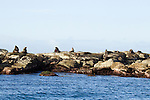 New Zealand Fur Seal (Arctocephalus forsteri) bulls sunbathing on coastal rocks, Kaikoura, South Island, New Zealand