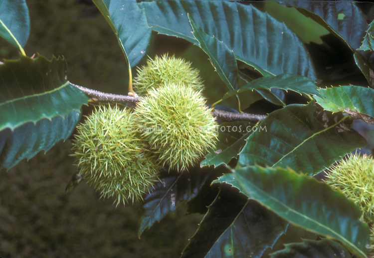 Castanea dentata American chestnuts growing on tree