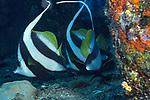 Banner fish circling