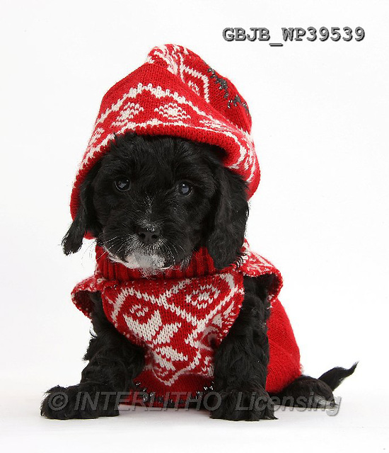 Kim, CHRISTMAS ANIMALS, photos,+White background,White background++++,GBJBWP39539,#xa# wearing a Father Christmas hat