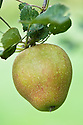 Apple 'Adams's Pearmain', mid September. An old-fashioned, English dessert apple, one of the most popular varieties in Victorian England, probably originating from Norfolk in the early 19th century. It has a distinctive conical or  'pearmain' shape.