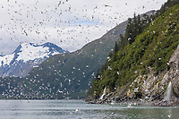 Black-legged kittiwakes take flight from their cliffside colony in Passage Canal, Prince William Sound, Alaska