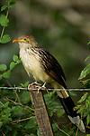 Guira Cuckoo (Guira guira), Ibera Provincial Reserve, Ibera Wetlands, Argentina