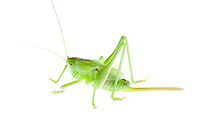 IFTE-NB-007421; Niall Benvie; Tettigonia viridissima nymph; grasshopper; Europe; Austria; Tirol; Fliesser Sonnenhänge; insect arthropod invertebrate; horizontal; high key; green white; controlled; male; adult; grassland upland meadow; 2008; July; summer; strobe backlight; Wild Wonders of Europe Naturpark Kaunergrat