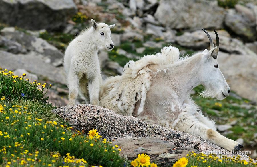 Mom and kid mountain goats (Oreamnos Americanus) among alpine flowers, Mt. Evans, Colorado