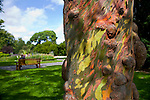 Eucalyptus tree in the National Botanic Gardens, Dublin. Man sitting on park bench in the distance. ..