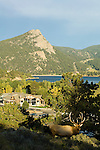 Bull elk (Cervus elaphus) stands on the Knoll Willows Open Space above the Convention and Visitors Bureau (CVB) building (new in 2006) and Lake Estes in Estes Park, Colorado, Rocky Mountains, on a September evening.