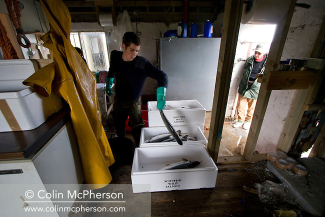 A customer waits by the door as a salmon net fisherman packs salmon  caught in a bag net at the ice house at Armadale in Sutherland. He was one of the last remaining fishermen who caught wild Atlantic salmon using traditional methods. His fishery was one of the few remaining in Sutherland in the far north west of Scotland.
