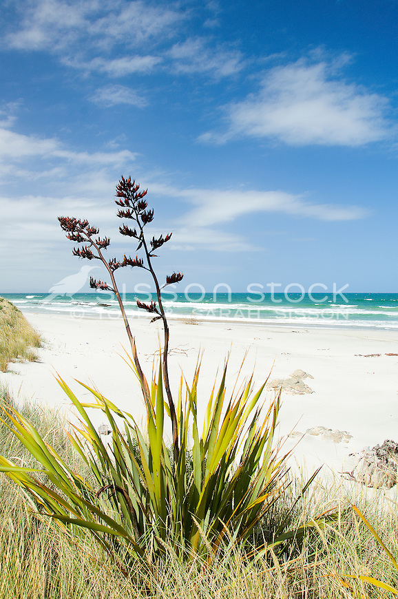 Flax flowers on a sandy white beach with blue sky and sea
