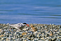 Arctic tern feeds nesting chick along the rocky shores of Naknek Lake in Katmai National Park, Alaska
