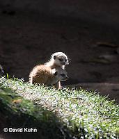 0329-1022  Meerkat Babies (Pups), Suricata suricatta  © David Kuhn/Dwight Kuhn Photography.