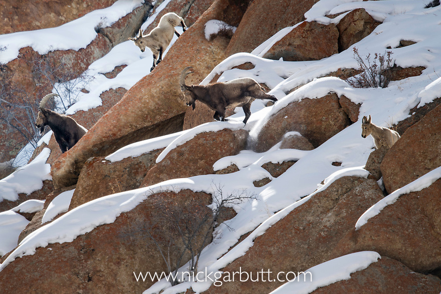 Asiatic ibex (Capra sibirica sakeen) (sometimes Capra ibex sibirica) climbing on steep rocky slopes. Himalayas. Spango valley, near Ulley, Ladakh, India.