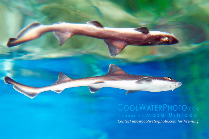 gray smoothhound shark (c), .Mustelus californicus, .eastern Pacific Ocean.