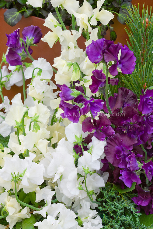 Sweet Peas in white, purple, cream Lathyrus odoratus, mixture of flowers colours colors