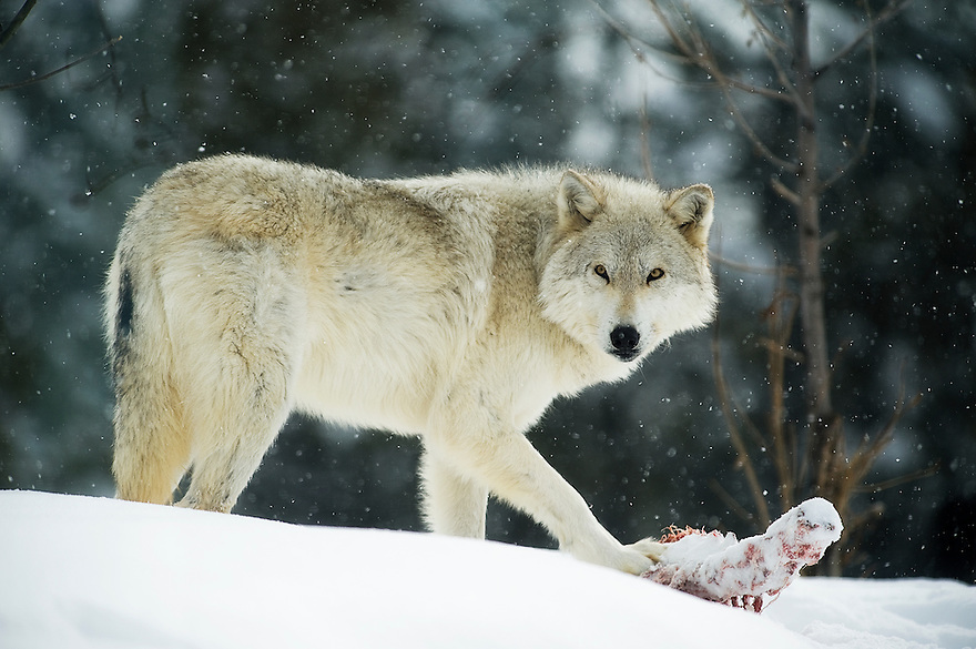 A gray wolf feeds on a carcass at the Grizzly and Wolf Discovery Center in West Yellowstone, Montana.