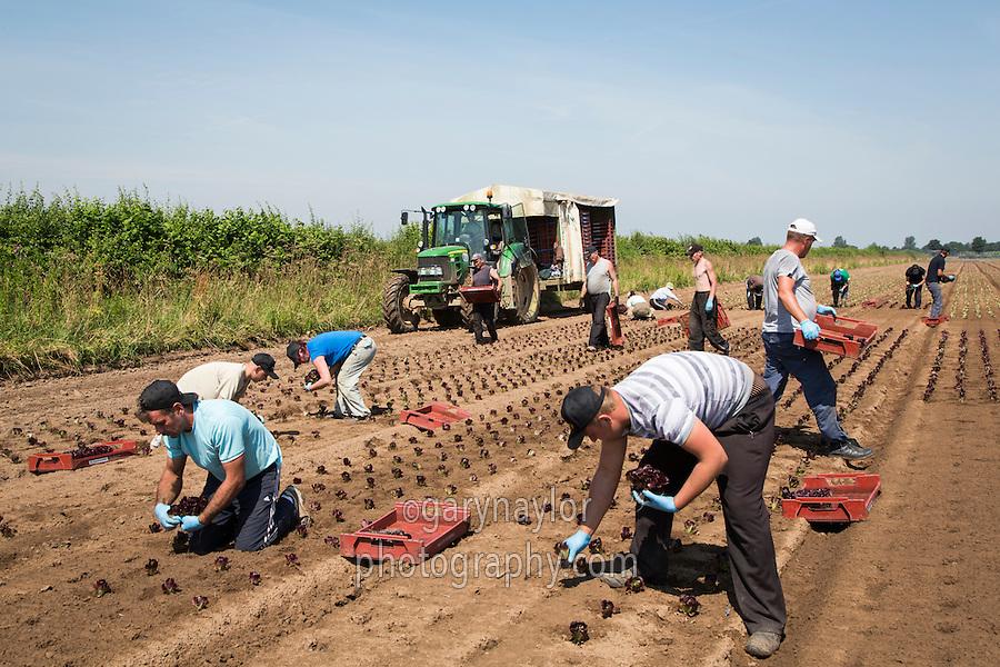 Migrant labour planting lettuce