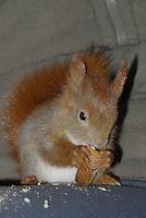 Eichhörnchen, Europäisches Eichhörnchen, verwaistes Jungtier, Junges wird von Hand aufgezogen, Wildtier-Aufzucht, frisst Zwieback, Tierbaby, Tierbabies, Sciurus vulgaris, European red squirrel, Eurasian red squirrel