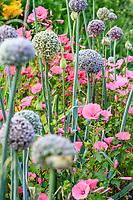 France, Loir-et-Cher (41), Cheverny, château de Cheverny, le jardin bouquetier, poireaux en fleurs et lavatères
