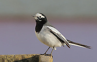 2016 11 30 Bird watchers from around the country observe rare masked wagtail,Camrose, Wales, UK