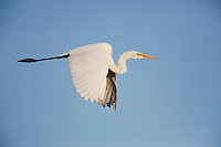 Great Egret (Ardea alba), adult in flight, Sinton, Corpus Christi, Coastal Bend, Texas, USA