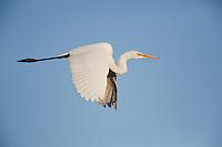 Great Egret (Ardea alba), adult in flight, Sinton, Corpus Christi, Coastal Bend, Texas, USA