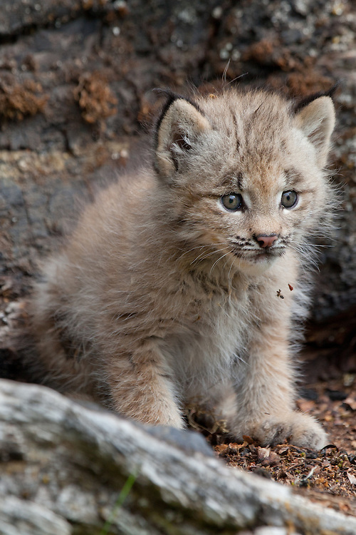 Canada Lynx kitten on an old log - CA