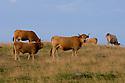 19/07/06 - CEZALIER - CANTAL - FRANCE - Estives de vaches AUBRAC dans le Cezalier - Photo Jerome CHABANNE