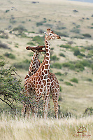 "Reticulated Giraffe (Giraffa camelopardalis reticulata) scores a hit, Lewa; males fight for dominance and to establish breeding rights - this is known as ""necking"""