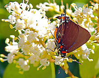Great purple hairstreak male on blooming ligustrum