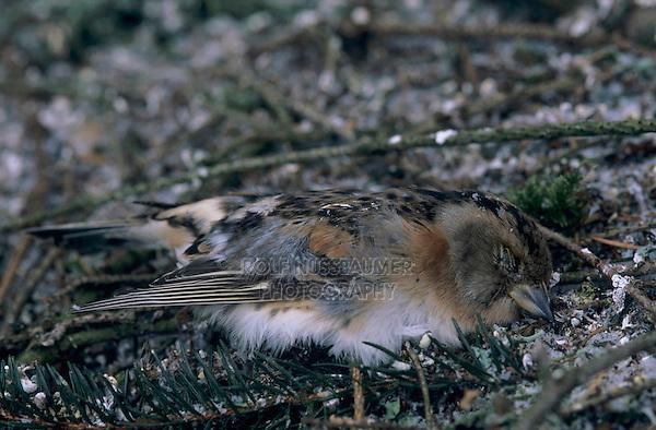 Brambling, Fringilla montifringilla,dead female at roosting place of 5 Million Finches, Bern, Switzerland, January 1998